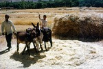 Threshing wheat with livestock hooves in Boir Ahmad by Reinhold Loeffler