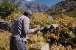 Grape harvest in Boir Ahmad by Reinhold Loeffler