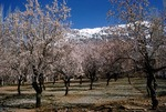 Apple trees blooming in the orchard of the tribal chief of Sisakht by Reinhold Loeffler